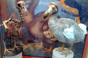 De dodoresten in het museum in Oxford